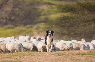 border-collie-herd-sheep-260nw-610347542