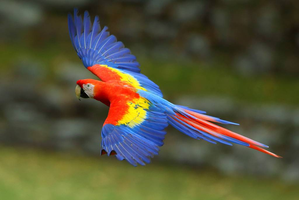 Scarlet-Macaw-by-Adam-Riley-1